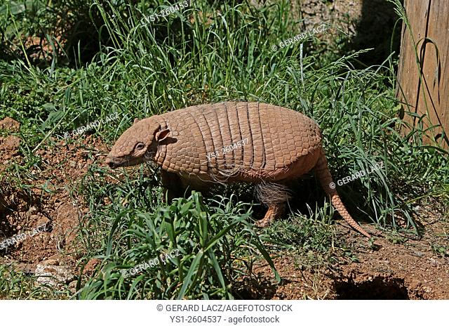 Yellow or Six-banded Armadillo, euphractus sexcinctus, Adult standing at Den Entrance, South America
