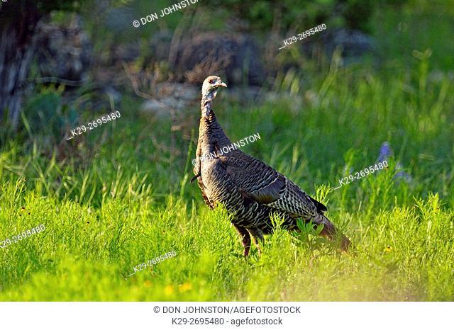 Wild Turkey (Meleagris gallopavo), Willow City, Texas, USA
