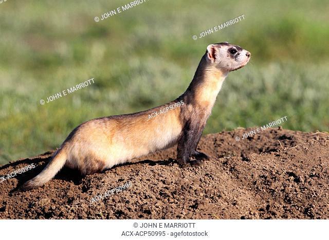 Wild Black-footed Ferret Mustela nigripes, also known as the American polecat or Prairie Dog Hunter, Grasslands National Park, Saskatchewan, Canada