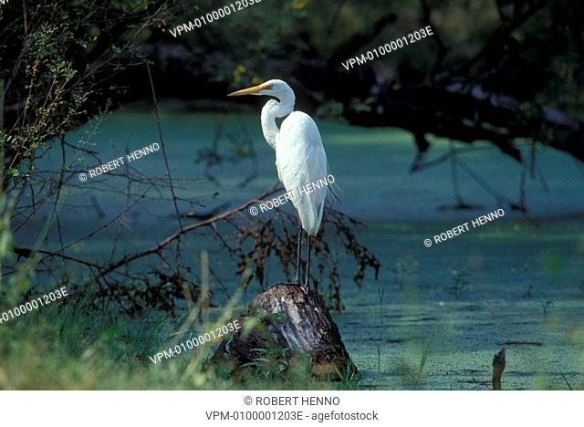 ARDEA ALBA - CASMERODIUS ALBUS - EGRETTA ALBAGREAT EGRET - COMMON EGRET - GREAT WHITE EGRETPERCHED BHARATPUR - INDIA