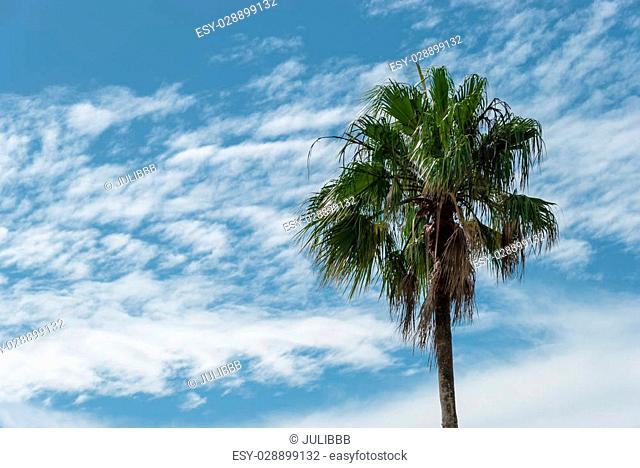 Tropical palm plant, white clouds, azur background on sunny day in summer