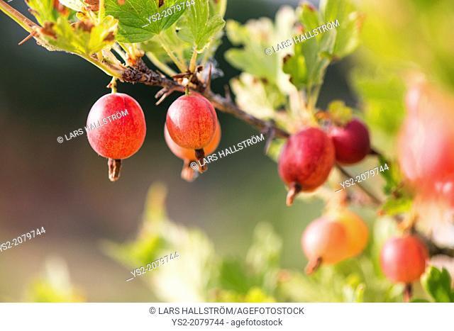 Gooseberries (Ribes uva-crispa) growing in garden