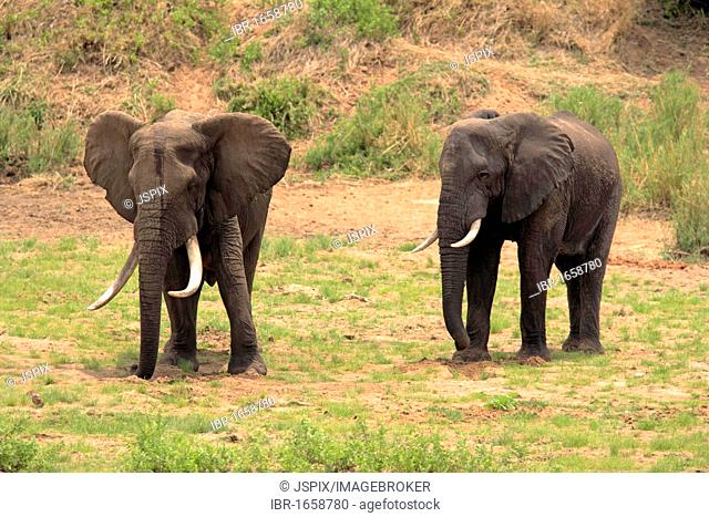 African Elephant (Loxodonta africana), bull digging in riverbed for water, Kruger National Park, South Africa, Africa