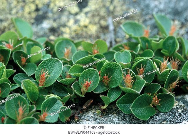 dwarf willow Salix herbacea, blooming