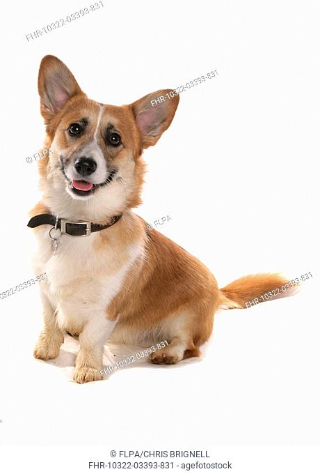 Domestic Dog, Pembroke Welsh Corgi, adult, sitting