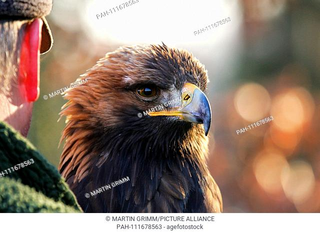 Golden Eagle (Aquila chrysaetos) portrait sitting on arm of falconer, Austria | usage worldwide. - /Austria