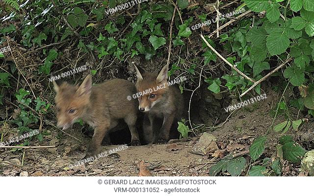 Red Fox, vulpes vulpes, Cubs standing at Den Entrance, Normandy, Real Time
