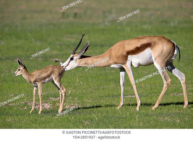 Springbok (Antidorcas marsupialis) - Mother and lamb, cleaning its, Kgalagadi Transfrontier Park in rainy season, Kalhari Desert, South Africa/Botswana