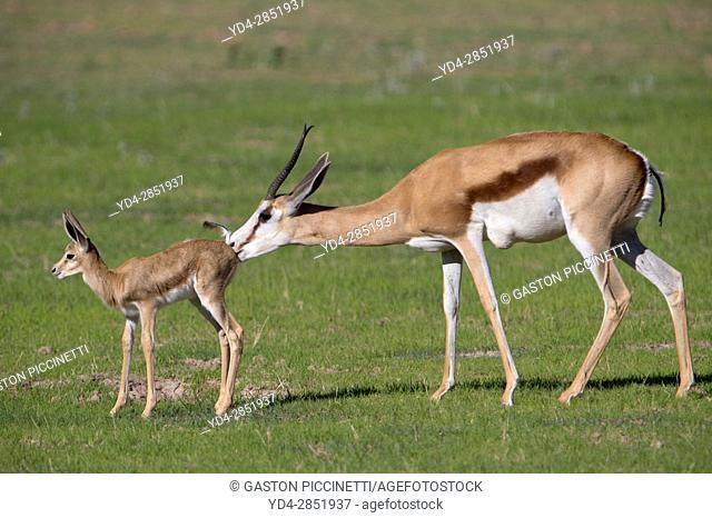 Springbok (Antidorcas marsupialis) - Mother and lamb, cleaning its, Kgalagadi Transfrontier Park in rainy season, Kalhari Desert, South Africa/Botswana