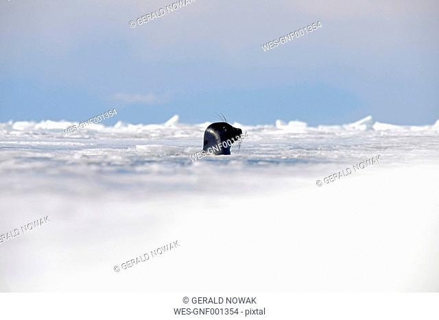 Russia, Lake Baikal, Baikal seal looking out from ice hole