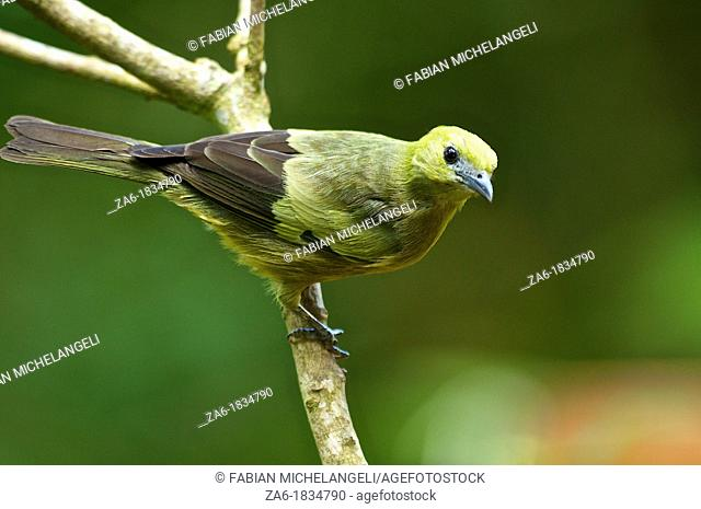 Palm Tanager Thraupis palmarum melanoptera, perched in the rain forest of northern Venezuela