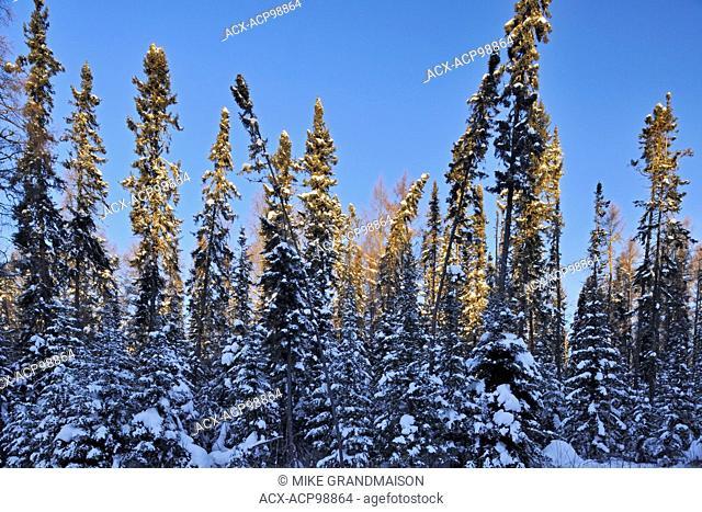 Black sruce trees (Picea mariana) in early monring light Ear Falls Ontario Canada