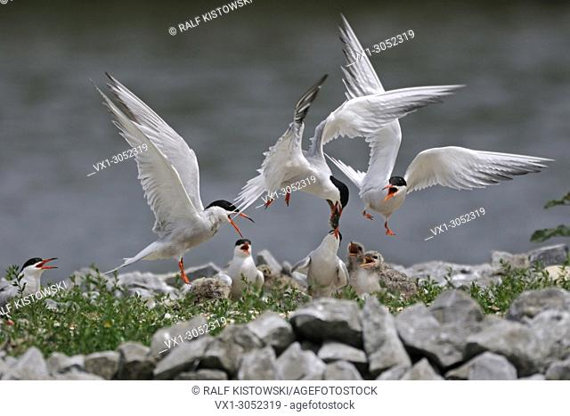 Common Terns (Sterna hirundo) breeding on an artificial nest platform, feeding their chicks, hard tussle, wildlife, Europe