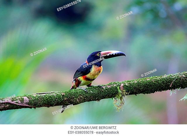 Collared Aracari in Costa Rica