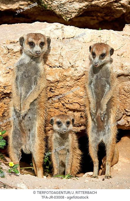 suricats