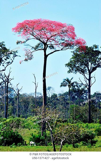 Blossom of Bombacacea in pasture area, Projeto de Assentamento Pedro Peixoto, Ramal Nabor Júnior, Senador Guiomard, Acre, Brazil, 2009