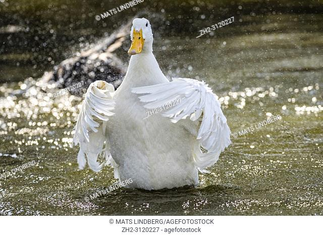 Domestic duck raising up and flapping her wings, Södermanland, Sweden