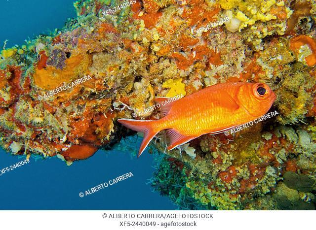 Immaculate Soldierfish, Myripristis vittata, South Malé Atoll, Maldives, Indian Ocean, Asia
