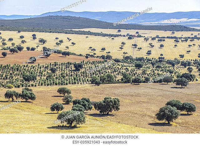 Cabaneros National Park. A dehesa, the traditional pastoral management in the park. Summer landscape