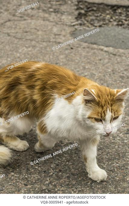 Predatory ginger and white cat with orange eyes padding along the broken tarmac'd road, the Cotswold's, England