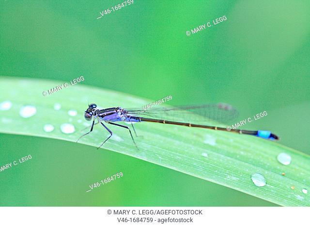 Bluetail Damselfly, Ischnura elegans Male
