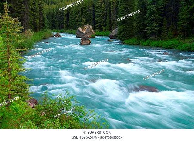 River passing through a forest, Maligne River, Jasper National Park, Alberta, Canada