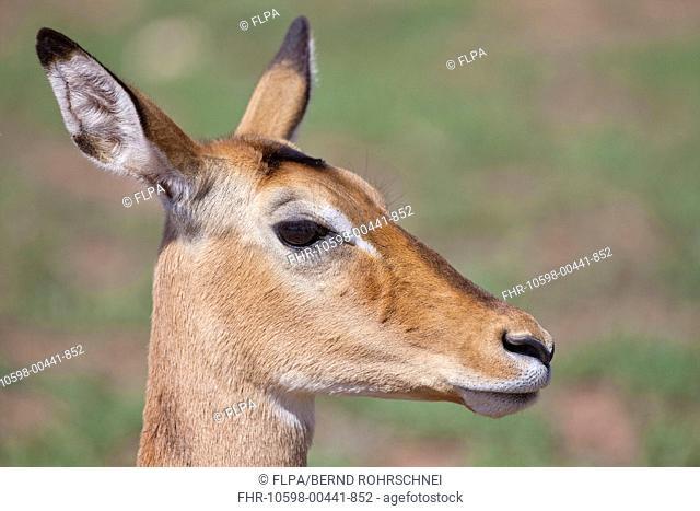 Impala Aepyceros melampus adult female, close-up of head, Serengeti N P , Tanzania, november