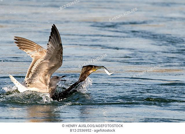 Cormorant Phalacrocorax carbo - with fish - attacked by a Herring Gull Larus argentatus - Netherlands