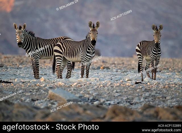 Hartmann's mountain zebra, Equus zebra hartmannae, Namib-Naukluft Park, Namibia