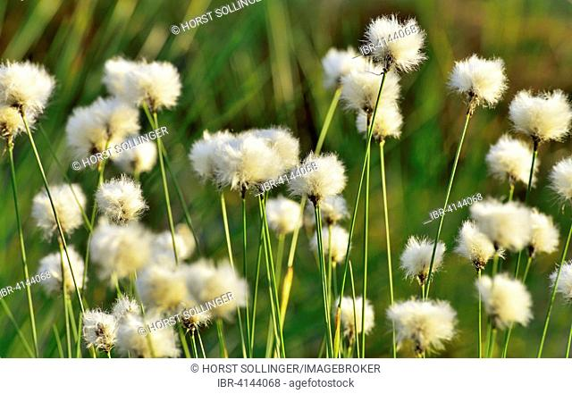Flowering Tussock Cottongrass (Eriophorum vaginatum), Bavaria, Germany