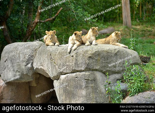 05 July 2021, Saxony, Leipzig: The four lion cubs Jasira, Juma, Kossi and Kiyan of mother lion Kigali and male lion Majo sit in the outdoor area at Leipzig Zoo...