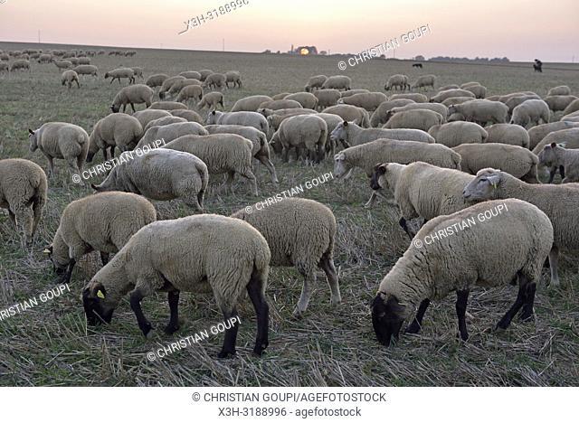 troupeau de moutons dans un champ fauche, departement d'Eure-et-Loir, region Centre-Val de Loire, France, Europe/flock of sheep in crop stubble