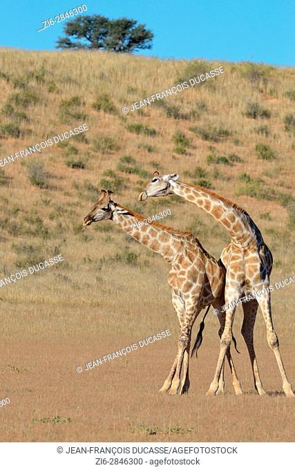 South African giraffes (Giraffa camelopardalis giraffa), two bulls fighting, Kgalagadi Transfrontier Park, Northern Cape, South Africa, Africa