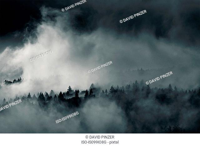Forest in mist, Bayerisch Eisenstein, Bavaria, Germany