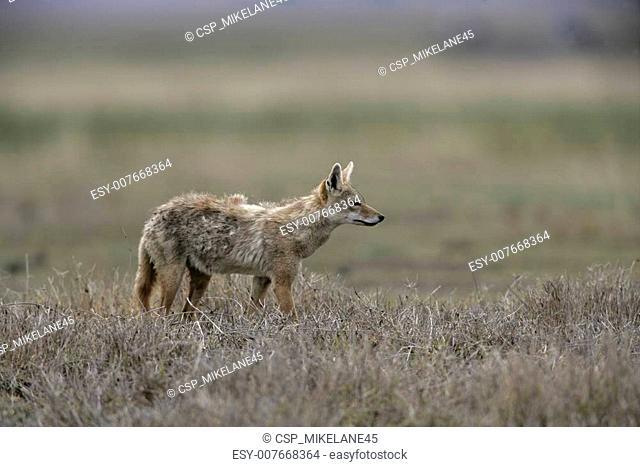 Brown or Golden or Asiatic jackal, Canis aureus