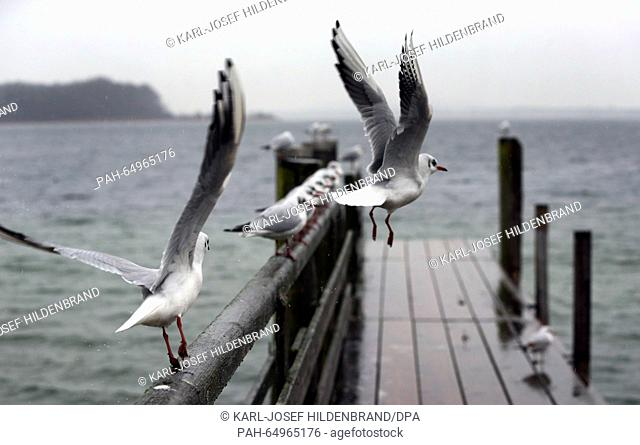 Seagulls about to take off from a jetty in rainy weather near Prien at Chiemsee lake, Germany, 11 January 2016. Photo: KARL-JOSEF HILDENBRAND/dpa | usage...