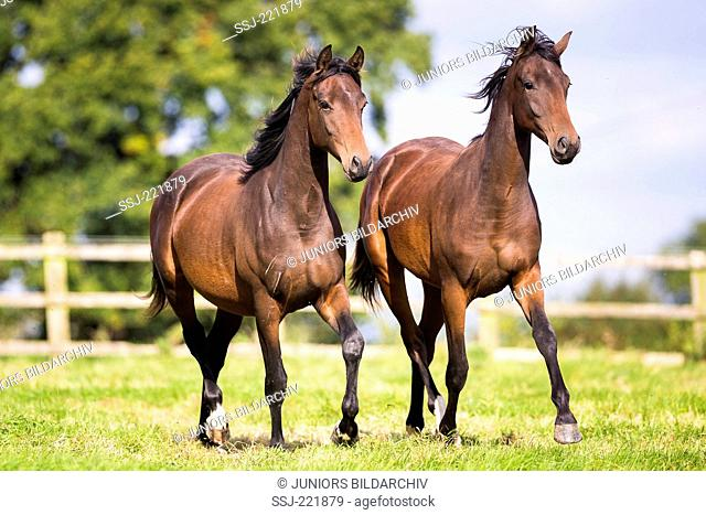 Dutch Warmblood. Juvenile mares trotting on a pasture. Great Britain