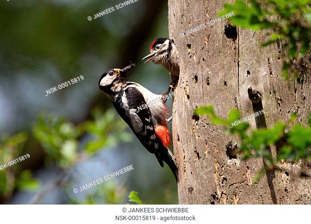Great Spotted Woodpecker (Dendrocopos major) feeding nestling, The Netherlands