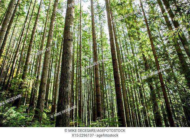 A dense forest of slender trees slice the frame into hundreds of vertical lines that are defined by the green in the trees against bright sunlight in the...