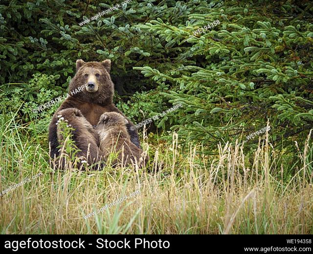Coastal brown bear, also known as Grizzly Bear (Ursus Arctos) nursing cubs. South Central Alaska. United States of America (USA)