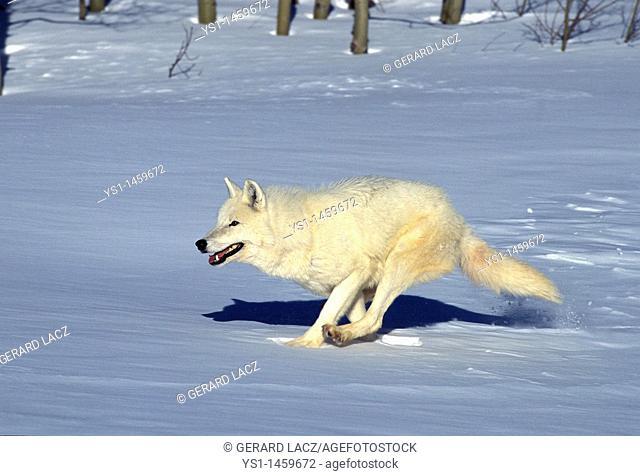 ARCTIC WOLF canis lupus tundrarum, ADULT RUNNING ON SNOW, ALASKA
