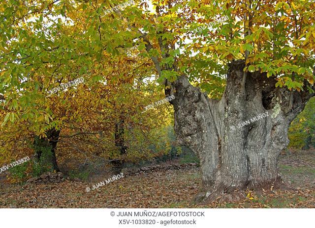 Forest of chestnut (Castanea sativa). Natural Park of Aracena and Picos de Aroche. Andalucia. Huelva. Spain