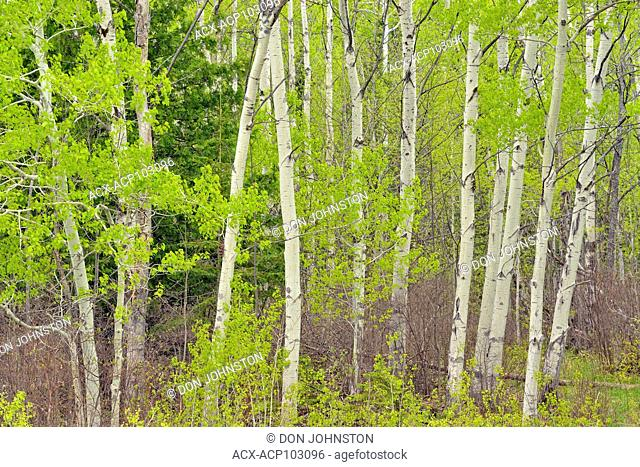 Spring foliage in aspen trees at the edge of a pasture, near Sheguiandah, Manitoulin Island, Ontario, Canada