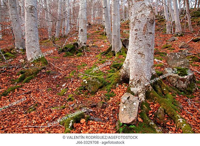 Beech forest in the natural park of Moncayo. Zaragoza