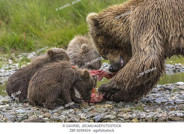 brown bear Mother and cubs eating salmon. Katmai National Park, Alaska, USA