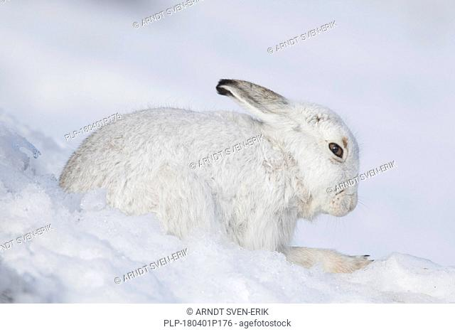 Mountain hare / Alpine hare / snow hare (Lepus timidus) in white winter pelage resting in the snow