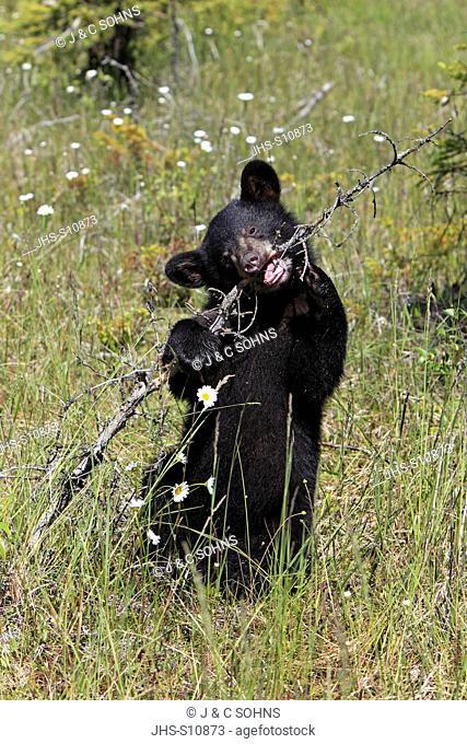 Black Bear, Ursus americanus, Montana, USA, North America, young in meadow
