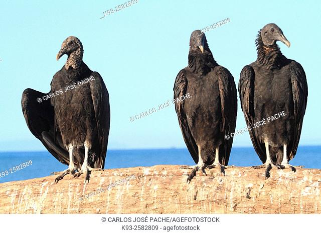 Costa Rica, Peninsula Osa, Corcovado National Park, Portrait of Black vultures (Coragyps atratus)
