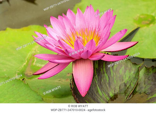 Nymphaea Edie's Choice, Pink Tropical Water Lily