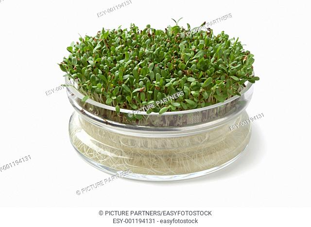 Alfalfa sprouts growing in a glass container on white background